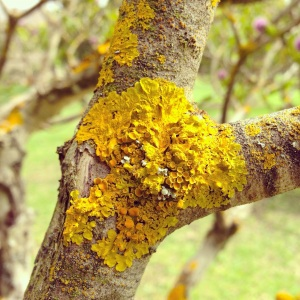 Yellow Crustose Lichen on a tree